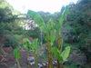 Banana_004